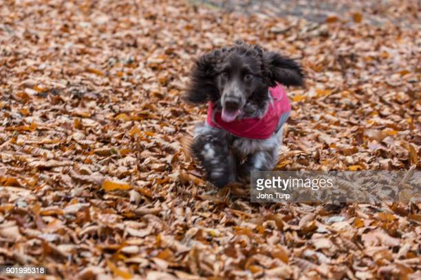 cockapoo spaniel excitedly playing fallen autumn