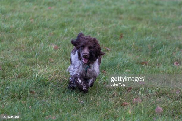 cockapoo spaniel running grass parkland towards