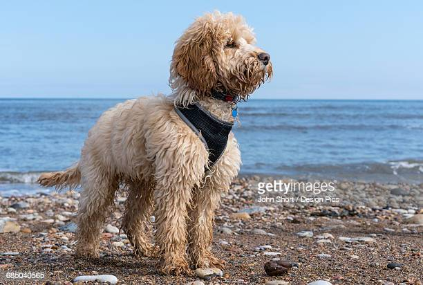 A cockapoo standing on a rocky beach at the waters edge