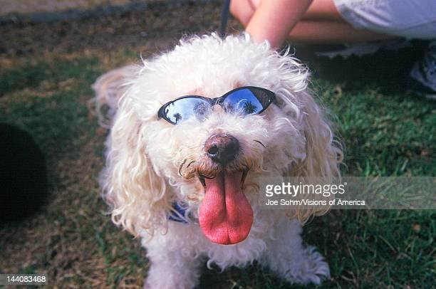 Cockapoo wearing sunglasses at the Doo Dah Parade Pasadena California
