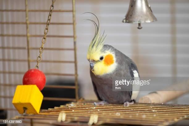 cockatiel and his toys in his birdcage - peso pluma fotografías e imágenes de stock