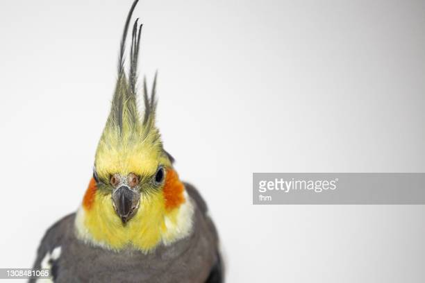 cockatiel, looking to camera - featherweight stock pictures, royalty-free photos & images