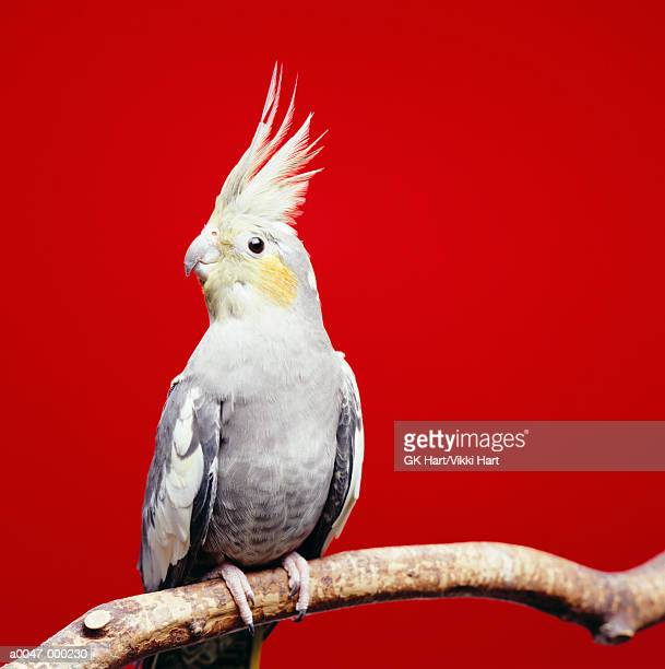 cockatiel on branch - cockatiel stock pictures, royalty-free photos & images