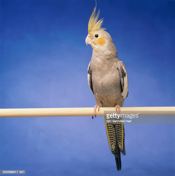 cockatiel on perch - cockatiel stock pictures, royalty-free photos & images