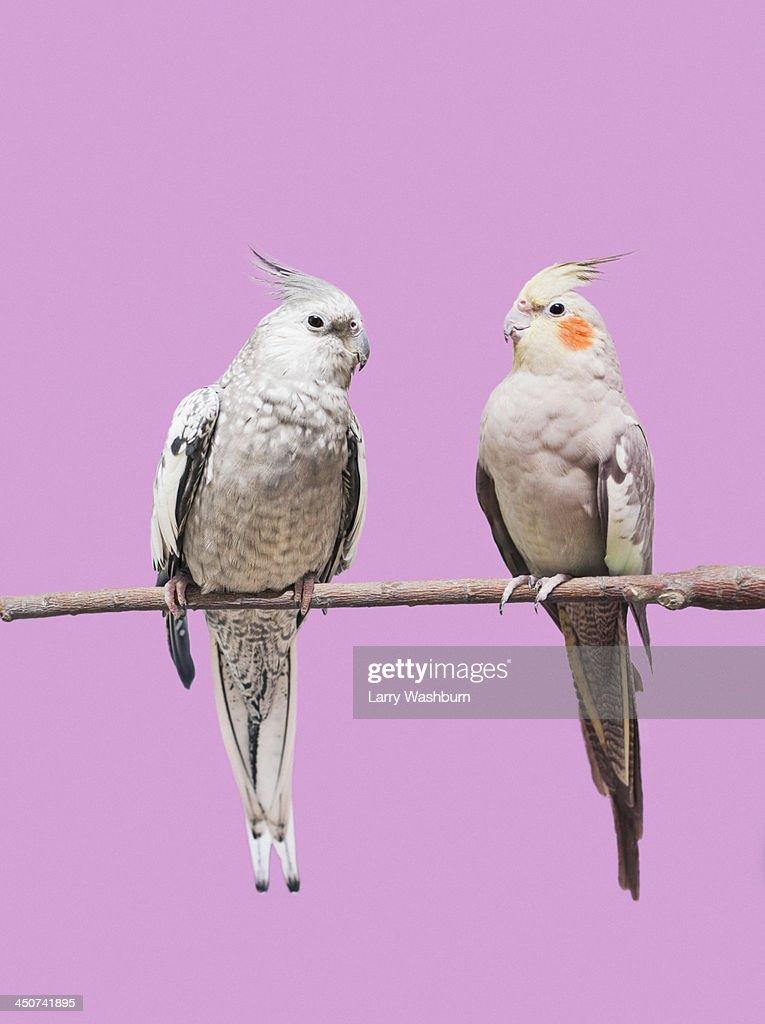 Cockatiel parrots : Stock Photo
