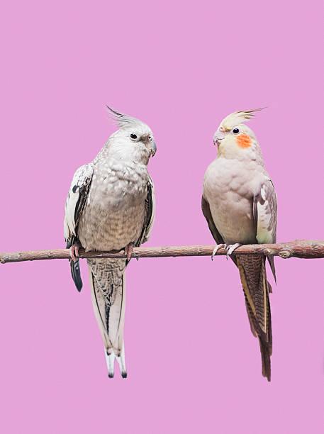 Cockatiel parrots