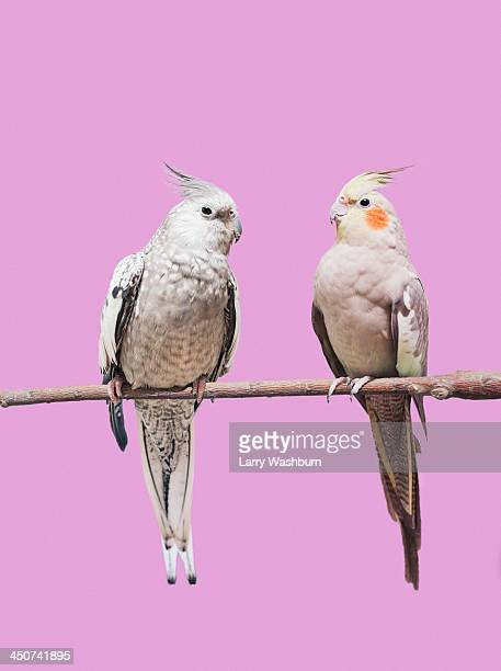 cockatiel parrots - parrot stock pictures, royalty-free photos & images