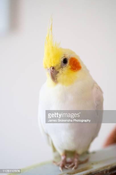 cockatiel pet bird - gedomesticeerde dieren stockfoto's en -beelden
