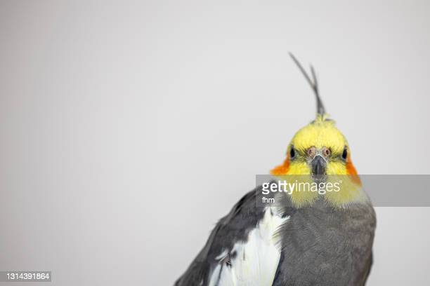 cockatiel - featherweight stock pictures, royalty-free photos & images