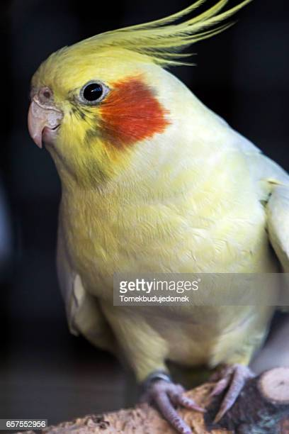 cockatiel - cockatiel stock pictures, royalty-free photos & images