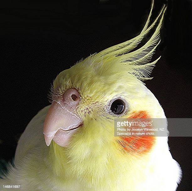 cockatiel - ( lutino) portrait - cockatiel stock pictures, royalty-free photos & images