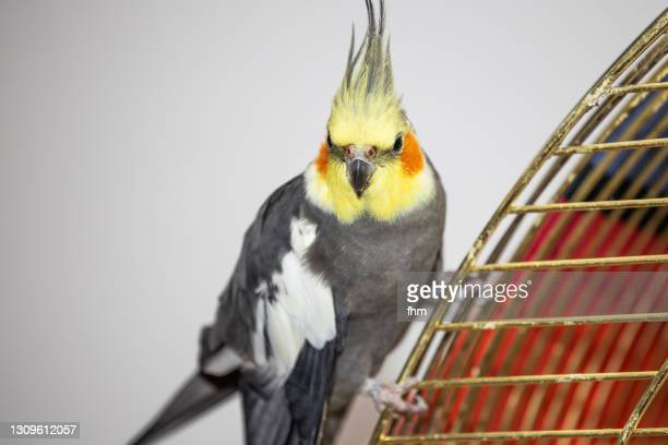 cockatiel, sitting on his birdcage - featherweight stock pictures, royalty-free photos & images