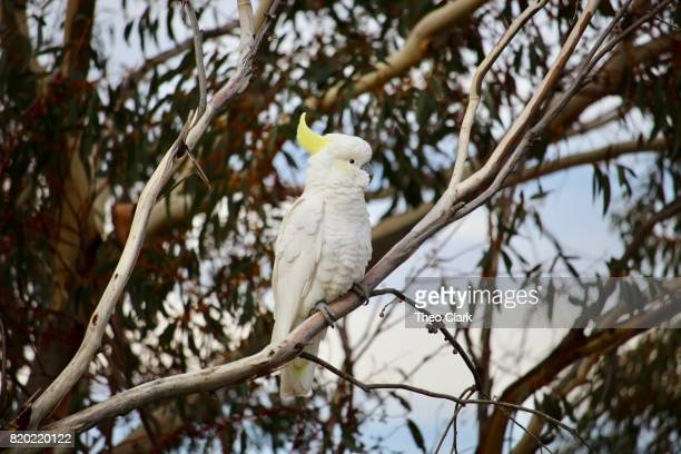 cockatoo in a gum tree - eucalyptus tree stock pictures, royalty-free photos & images