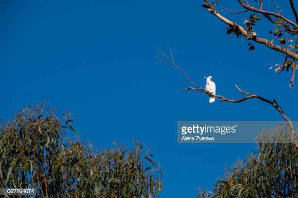 Cockatoo is alone on the tree