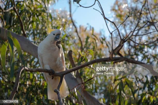 Cockatoo on the tree