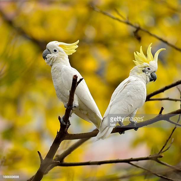 cockatoo pair with crest raised - limb body part stock pictures, royalty-free photos & images