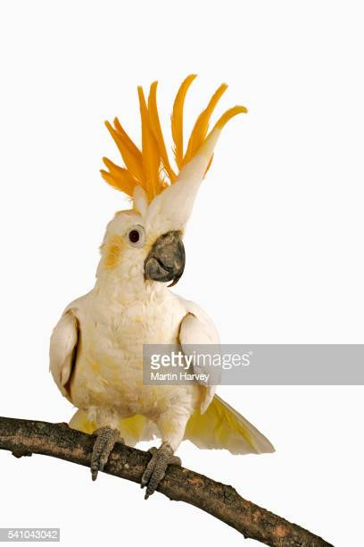 cockatoo - tropical bird stock pictures, royalty-free photos & images