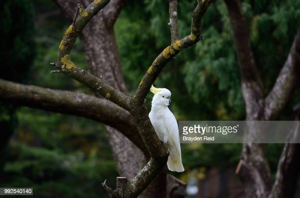 cockatoo - reid,_wisconsin stock pictures, royalty-free photos & images