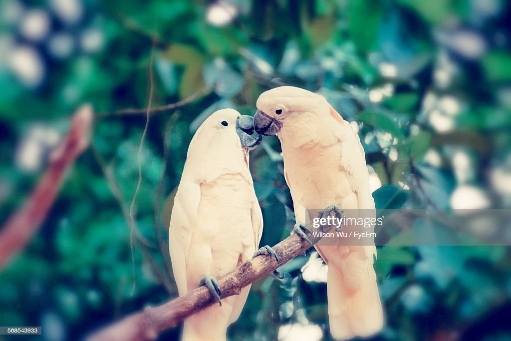 Cockatoos Perching On Tree Branch : Stock Photo