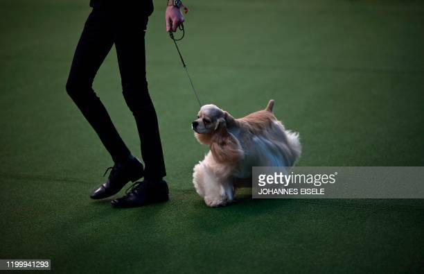 Cocker Spaniel and his handler compete in the 144th annual Westminster Kennel Club Dog Show on February 10, 2020 in New York City. - Over 200 breeds...
