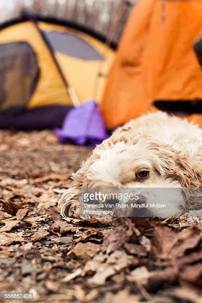 cocker spaniel camping - vanessa van ryzin stock photos and pictures