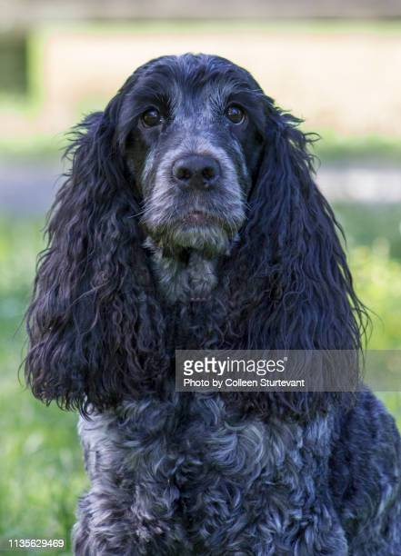 cocker spaniel dog - spaniel stock pictures, royalty-free photos & images