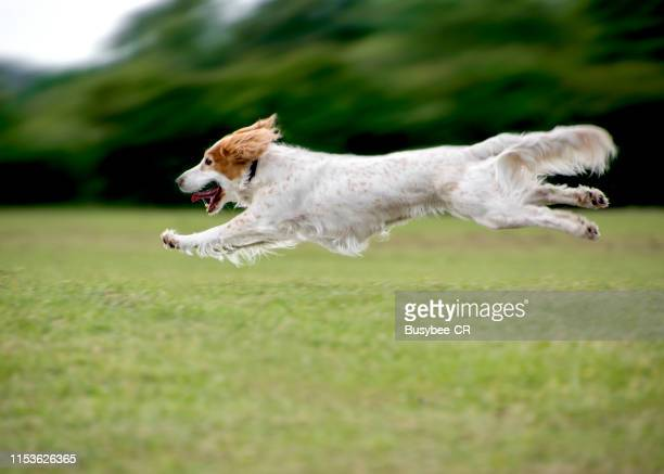 a cocker spaniel dog running at speed and leaping in the air - cocker spaniel stock pictures, royalty-free photos & images