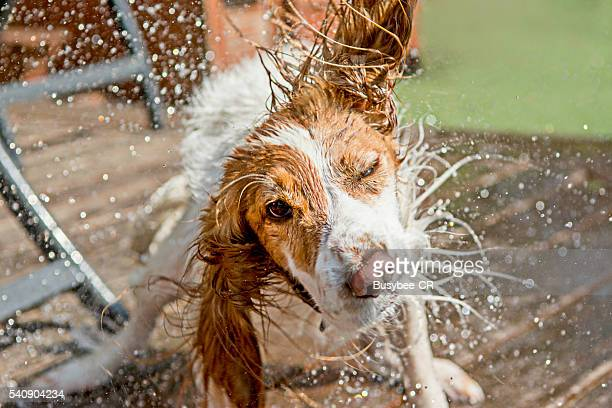 a cocker spaniel dog shaking off water - nass stock-fotos und bilder