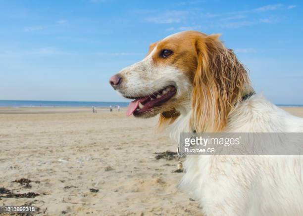 cocker spaniel dog sitting on the beach - animal head stock pictures, royalty-free photos & images
