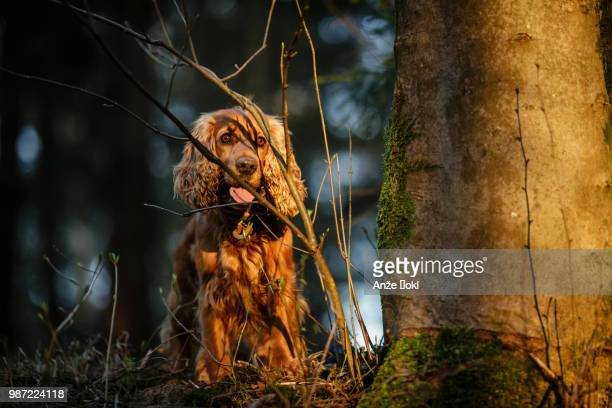 a cocker spaniel in ljubljana, slovenia. - cocker spaniel stock photos and pictures