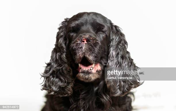 cocker spaniel male recovering from nose cancer (adenocarcinoma) surgery - tumeur nez photos et images de collection