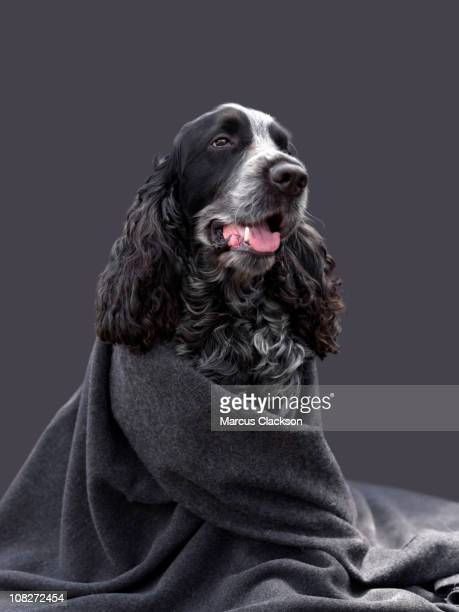 cocker spaniel - spaniel stock photos and pictures