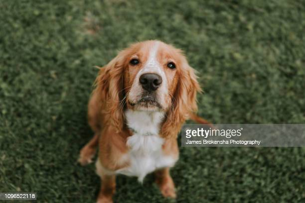 cocker spaniel - cocker spaniel stock pictures, royalty-free photos & images