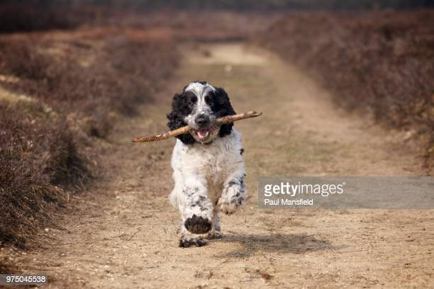 cocker spaniel - cocker spaniel stock photos and pictures