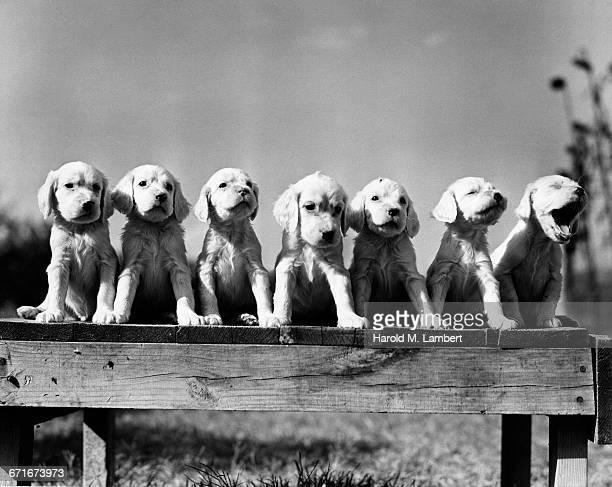 cocker spaniel puppies sitting side by side - mamífero con garras fotografías e imágenes de stock
