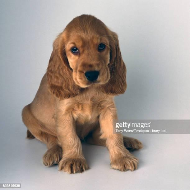 Cocker Spaniel puppy, 1979.