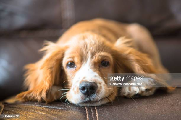 cocker spaniel puppy dog pet on a couch - cocker spaniel stock photos and pictures