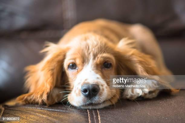 cocker spaniel puppy dog pet on a couch - cocker spaniel foto e immagini stock