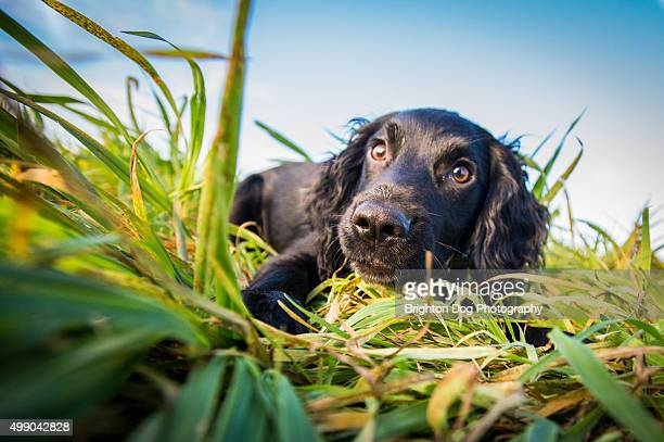 a cocker spaniel puppy lying in grass - spaniel stock pictures, royalty-free photos & images