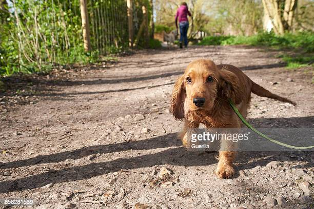 Cocker Spaniel Puppy On Outdoor Walk With Owner