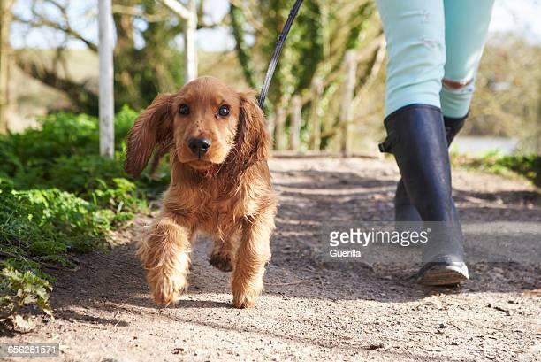cocker spaniel puppy on outdoor walk with owner - cocker spaniel foto e immagini stock