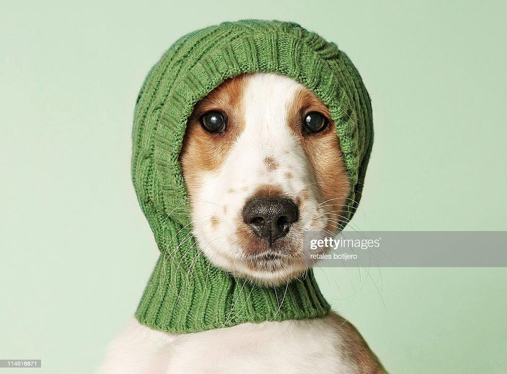 Cocker spaniel puppy : Stock Photo