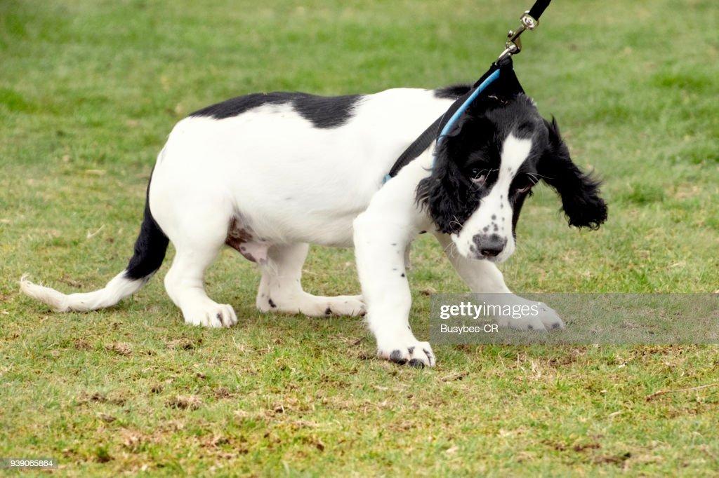 Cocker Spaniel Puppy pulling on the lead : Foto de stock
