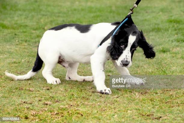 cocker spaniel puppy pulling on the lead - spaniel stock photos and pictures
