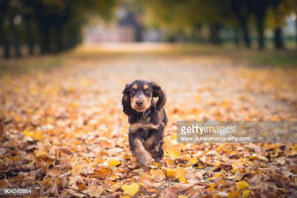 cocker spaniel puppy running through autumnal leaves - cocker spaniel stock photos and pictures