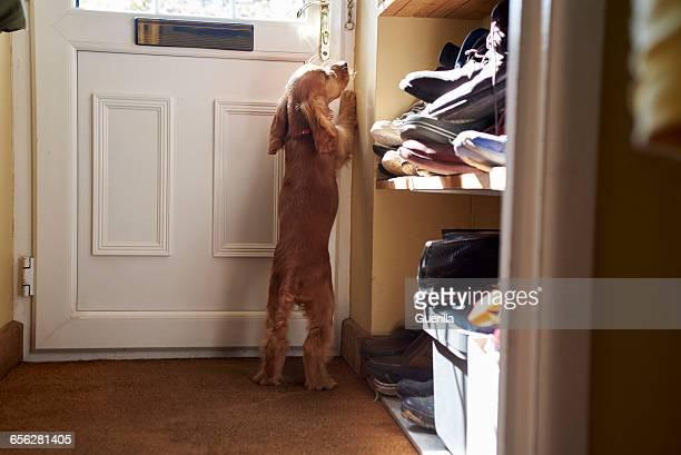 Cocker Spaniel Puppy Scratching At Front Door