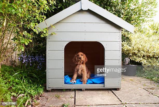 Cocker Spaniel Puppy Sitting In Dog Kennel In Garden