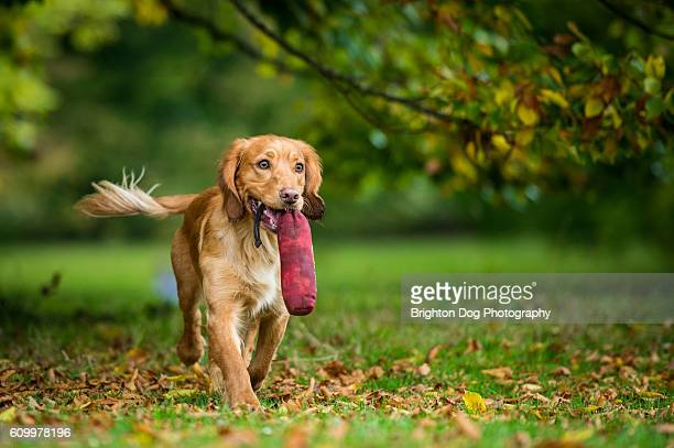 a cocker spaniel retrieving a toy - cocker spaniel stock photos and pictures
