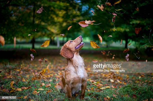 A Cocker Spaniel sitting amongst falling leaves