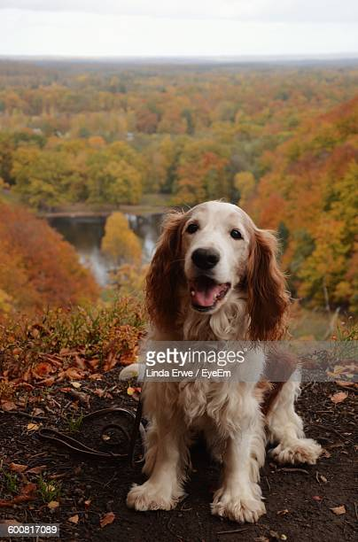 Cocker Spaniel Sitting On Field In Forest During Autumn